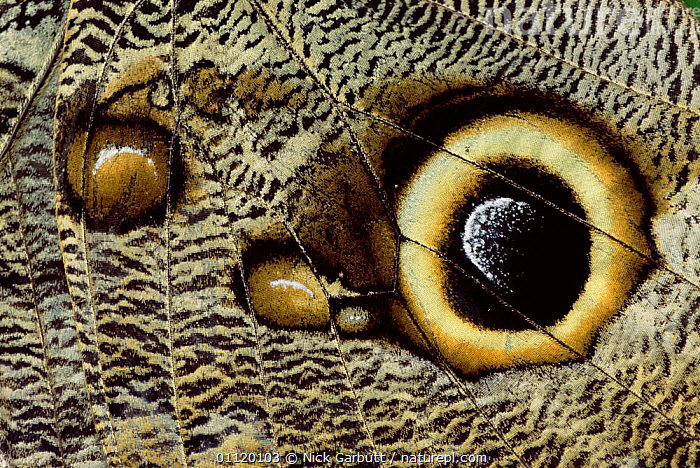 Close up of eye on wing of Owl butterfly {Calligo eurilochus} Ecuador  ,  WINGS,PATTERNS,SCALES,CLOSE UPS,CALLIGO,BUTTERFLIES,DEFENSE,INSECTS,LEPIDOPTERA,EYES,Invertebrates,Owls,Raptor  ,  Nick Garbutt