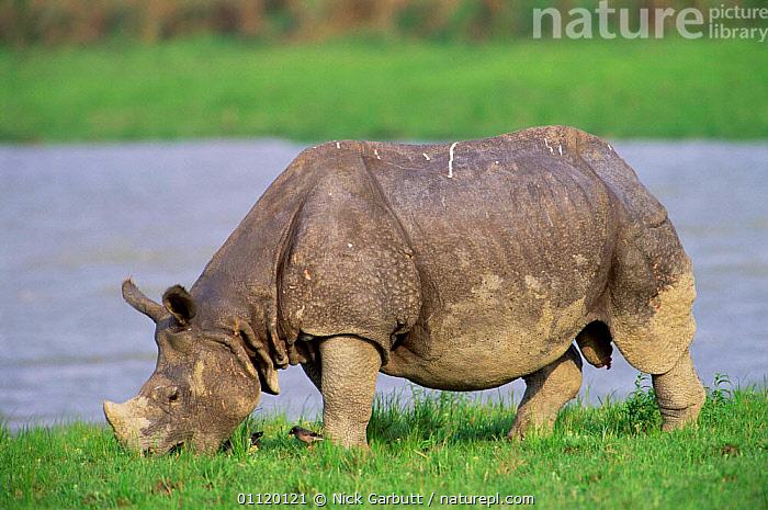 Indian rhinoceros grazing {Rhinoceros unicornis} Kaziranga NP, Assam, India  ,  ASIA,RHINO,LAKES,ENDANGERED,BEHAVIOUR,FEEDING,MAMMALS,PROFILE,RHINOCEROSES,PERISSODACTYLA,RESERVE rhino, rhinoceros, rhinos,  ,  Nick Garbutt