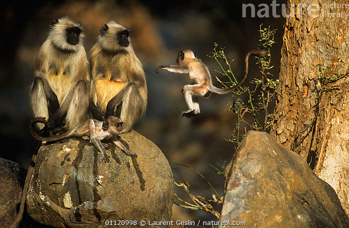 Southern plains grey / Hanuman langur {Semnopithecus dussumieri} two adults with young, one jumping, Sariska NP, Rajasthan, India  ,  ACTION,agility,animal family,animal young,animals in the wild,ASIA,BABIES,Balance,BEHAVIOUR,catalogue4F,Cercopithecidae,DUSSUMIERS MALABAR LANGUR,DUSSUMIERS SACRED LANGUR,exhibitionist,FAMILIES,four animals,full length,fun,HANUMAN LANGUR,india,JUMPING,LANGURS,LEAPING,LEARNING,MAMMALS,mischief,MOTHER BABY,Nobody,PRIMATES,rajasthan,Sariska National Park,side view,small group of animals,SOUTHERN PLAINS GREY LANGUR,VERTEBRATES,WILDLIFE  ,  Laurent Geslin