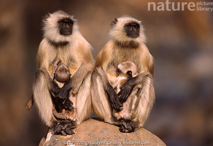 Two Southern plains grey / Hanuman langur {Semnopithecus dussumieri} females suckling young, Sariska NP, India  ,  ASIA,BABIES,baby,BEHAVIOUR,catalogue4F,Cercopithecidae,DUSSUMIERS MALABAR LANGUR,DUSSUMIERS SACRED LANGUR,FAMILIES,FEEDING,female animal,FEMALES,four animals,front view,full length,HANUMAN LANGUR,identical,LANGURS,looking away,MAMMALS,MOTHER,Nobody,NP,PRESBYTIS ENTELLUS,PRIMATES,RESERVE,rock,side by side,SITTING,small group of animals,SOUTHERN PLAINS GREY LANGUR,SUCKLING,VERTEBRATES,watchful,WILDLIFE,young animal,National Park  ,  Laurent Geslin