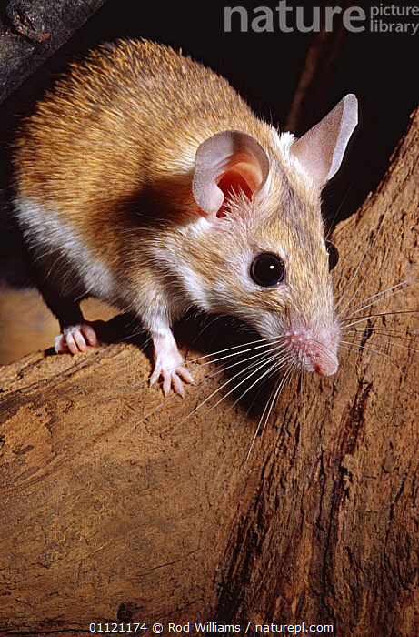 Egyptian spiny mouse {Acomys cahirunus} captive  ,  AFRICA,ASIA,MAMMALS,MICE,rodents,VERTEBRATES,VERTICAL,Muridae  ,  Rod Williams