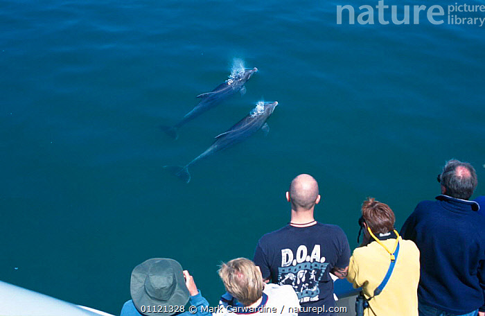 Watching Bottlenose dolphins, Sea of Cortez, Mexico {Tursiops truncatus}  ,  WHALE,TWO,CETACEANS,MAMMALS,DOLPHIN WATCHING,MARINE,PEOPLE,SURFACE,TOURISM,TROPICAL,Dolphins, Mammals  ,  Mark Carwardine