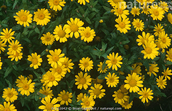 Corn marigold (Glebionis segetum) Montrose, Scotland, AGRICULTURE, ASTERACEAE, COMPOSITAE, DICOTYLEDONS, EUROPE, FLOWERS, HEADS, PLANTS, SCOTLAND, UK, YELLOW,United Kingdom, Brian Lightfoot