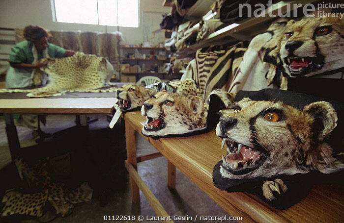Taxidermist shop with stuffed Cheetah head hunting trophies, Namibia  ,  AFRICA,CARNIVORES,EXPORT,HUNTING,HUNTING SPORT,MAMMALS,SKINS,SOUTHERN AFRICA,SOUVENIRS,TRADE  ,  Laurent Geslin