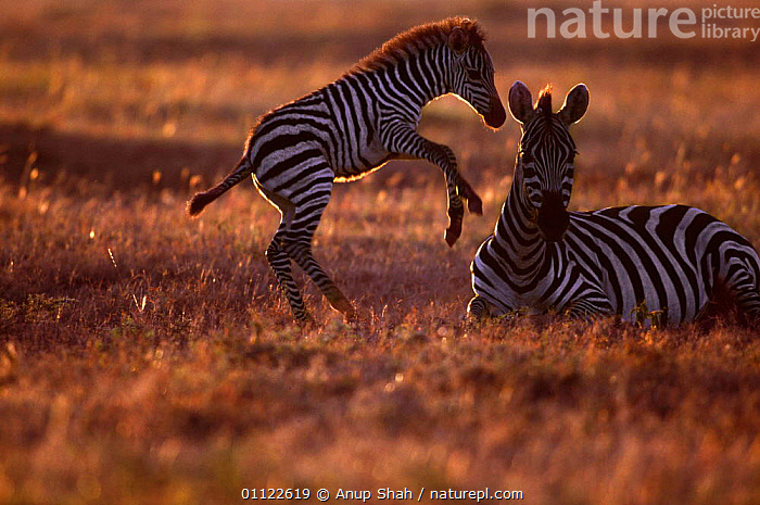 Common zebra foal playin gnext to mother {Equus quagga} Masai Mara GR, Kenya  ,  FOALS,EVENING,AFRICA,MAMMALS,YOUNG,PERISSODACTYLA,ZEBRAS,JUVENILE,PLAYFUL,BABIES,PLAY,FAMILY,EAST,GAME,EAST AFRICA,FAMILIES,RESERVE,MAASAI,PLAYING,Communication,Equines,Catalogue1  ,  Anup Shah