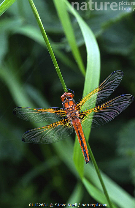Scarse chaser dragonfly alighted with wings open (Libellula fulva) UK  ,  ARTHROPODS,DRAGONFLIES,ENGLAND,EUROPE,INSECTS,INVERTEBRATES,ODONATA,UK,VERTICAL,WINGS,United Kingdom,British  ,  Steve Knell
