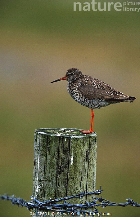 Redshank on post {Tringa totanus} Shetland Islands, Scotland, UK  ,  BIRDS,EUROPE,PROFILE,SANDPIPERS,SCOTLAND,UK,VERTEBRATES,VERTICAL,WADERS,United Kingdom,British  ,  Steve Knell