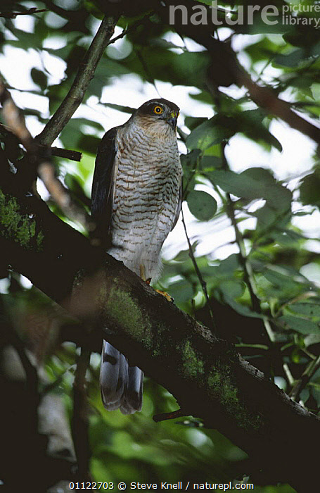 Sparrowhawk female perched in tree {Accipiter nisus} UK  ,  BIRDS,BIRDS OF PREY,ENGLAND,EUROPE,FEMALES,HAWKS,TREES,UK,VERTEBRATES,VERTICAL,United Kingdom,Plants,British  ,  Steve Knell