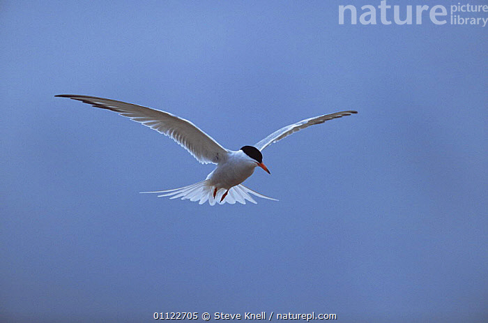 Common tern {Sterna hirundo} in flight, UK  ,  BIRDS,CUTOUT,EUROPE,FLYING,SEABIRDS,TERNS,UK,VERTEBRATES,United Kingdom,British  ,  Steve Knell