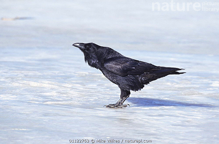 Common raven {Corvus corax} on ice, Kustavi, Finland  ,  ARCTIC,BIRDS,CORVIDS,CROWS,EUROPE,Frozen,ICE,SCANDINAVIA,VERTEBRATES,WINTER  ,  Mike Wilkes