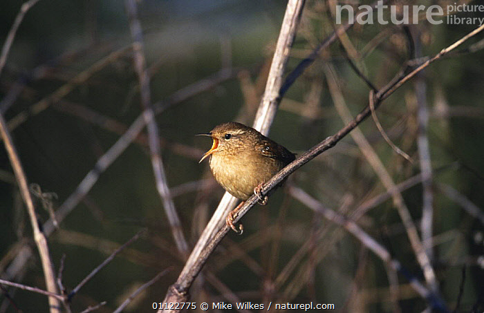 Nature Picture Library - Wren singing (Troglodytes
