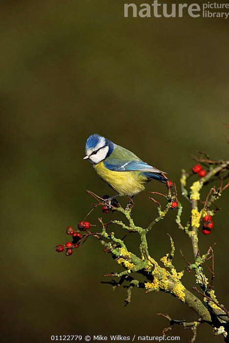 Blue tit {Parus caeruleus} with hawthorn berries, UK.  ,  UK,VERTICAL,TITS,EUROPE,BIRDS,ENGLAND,United Kingdom,British  ,  Mike Wilkes