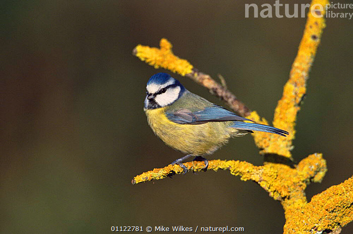 Blue tit {Parus caeruleus} on lichen, UK.  ,  BIRDS,EUROPE,ENGLAND,UK,TITS,United Kingdom,British  ,  Mike Wilkes