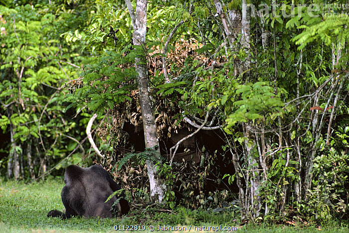 Western lowland gorilla male (Gorilla gorilla gorilla) feeds in front of hide, Lokoue bai, Odzala NP, Republic of Congo  ,  CAMOUFLAGE,CENTRAL AFRICA,CLEARING,EATING,ENDANGERED,FEEDING,GREAT APES,HIDES,MALES,MAMMALS,NP,PRIMATES,RESERVE,SILVERBACK,TROPICAL,TROPICAL RAINFOREST,VERTEBRATES,Africa,National Park , Bruce Davidson  ,  Jabruson