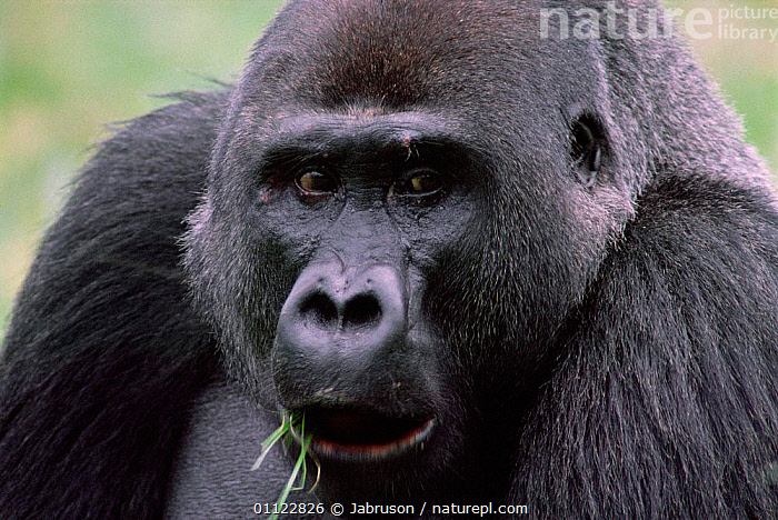 Western lowland gorilla male portrait {G g gorilla} Congo Rep, Lokoue bai, Odzala NP  ,  GORILLAS,CENTRAL AFRICA,MALES,FEEDING,RESERVE,PORTRAITS,GREAT APES,PRIMATES,MAMMALS,TROPICAL RAINFOREST,Africa , Bruce Davidson  ,  Jabruson
