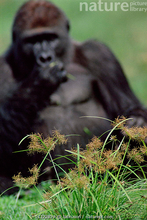 Western lowland gorilla male feeding {G g gorilla} Lokoue bai, Odzala NP, Rep of Congo  ,  ROTUNDUS,RESERVE,PRIMATES,MALES,TROPICAL RAINFOREST,SEDGE,NUTGRASS,CENTRAL AFRICA,CLEARING,MAMMALS,CYPERUS,GREAT APES,GORILLAS,BEHAVIOUR,Africa,Catalogue1 , Bruce Davidson  ,  Jabruson