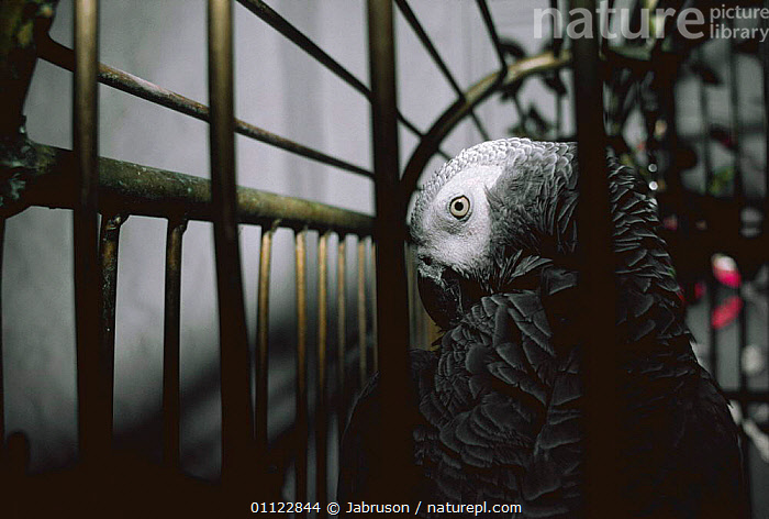 African grey parrot in cage {Psittacus erithacus} Kenya  ,  AFRICA,BIRDS,CAPTIVITY,CRUELTY,EAST AFRICA,ENDANGERED,EXPORT,LIVE,MARKETS,PARROTS,PET TRADE,PETS,SAD,TRADE,TROPICAL,VERTEBRATES,Concepts , Bruce Davidson  ,  Jabruson