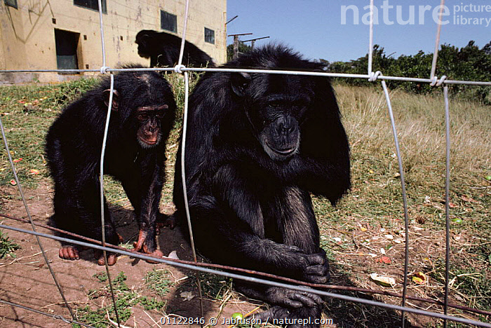 Chimpanzees (Pan troglodytes) in rehabilitation Sweetwater sanctuary, Kenya  ,  ANIMAL CARE,CARE,CHIMPS,CONSERVATION,EAST AFRICA,ENCLOSURE,ENDANGERED,FENCES,GREAT APES,MAMMALS,ORPHANED,ORPHANS,PRIMATES,REHABILITATION,THREE,VERTEBRATES,Africa , Bruce Davidson  ,  Jabruson