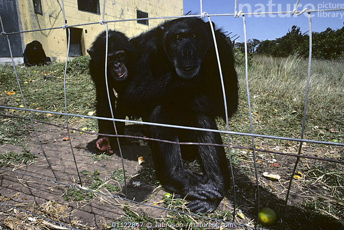 Chimpanzees in rehabilitation sanctuary (Pan troglodytes) Sweetwaters Sanctuary, Kenya  ,  ANIMAL CARE,CONSERVATION,EAST AFRICA,ENCLOSURE,ENDANGERED,GREAT APES,GROUPS,MAMMALS,ORPHANED,ORPHANS,PRIMATES,REHAB,REHABILITATION,THREE,VERTEBRATES,Africa , Bruce Davidson  ,  Jabruson