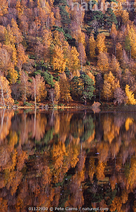 Autumn trees reflected in Loch Pityoulish, Strathspey, Scotland, UK  ,  AUTUMN,CONIFEROUS,EUROPE,HIGHLANDS,LAKES,MIXED SPECIES,REFLECTIONS,SCOTLAND,TREES,UK,VERTICAL,WATER,WOODLANDS,United Kingdom,Plants,British, United Kingdom  ,  Pete Cairns