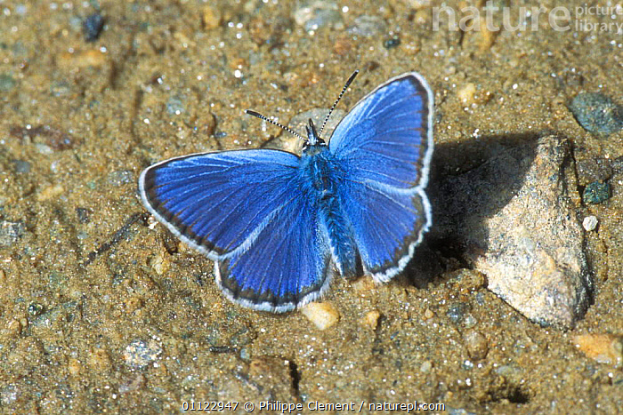 Chapman's blue butterfly licking minerals {Polyommatus thersites} Gran Paradiso NP  ,  ARTHROPODS, BEHAVIOUR, BUTTERFLIES, EUROPE, FEEDING, INSECTS, INVERTEBRATES, ITALY, LEPIDOPTERA, RESERVE  ,  Philippe Clement
