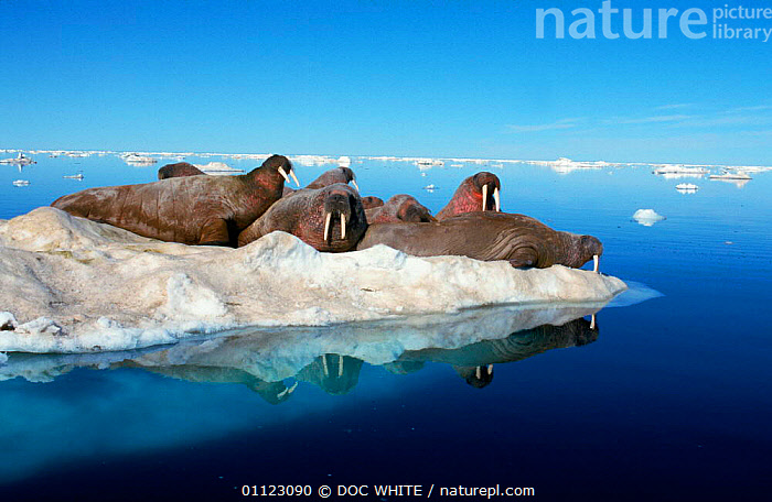 Walruses hauled out on ice floe {Odobenus rosmarus} Canadian Arctic Canada  ,  GROUPS,LANDSCAPES,CANADA,PINNIPEDS,SNOW,MAMMALS,NORTH AMERICA, CARNIVORES , CARNIVORES , CARNIVORES , CARNIVORES  ,  DOC WHITE