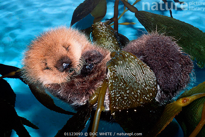 Sea otter baby resting in kelp {Enhydra lutris} captive Monterey Bay California USA  ,  USA,PACIFIC,MAMMALS,CARNIVORES,OTTERS,BABIES,ENDANGERED,TEMPERATE,BEHAVIOUR,MARINE,CUTE,SLEEPING,SEAWEED,North America,Plants,Mustelids  ,  DOC WHITE