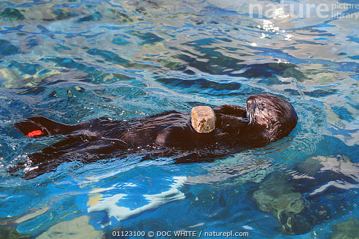 Sea otter with block of food + tag on rear fin captive Monterey Bay CA USA {Enhydra  ,  OTTERS,SWIMMING,TAGGED,TEMPERATE,MAMMALS,CARNIVORES,MARINE,PACIFIC,CALIFORNIA,ENDANGERED,FEEDING,BEHAVIOUR,TAGGING,USA,North America,Mustelids  ,  DOC WHITE