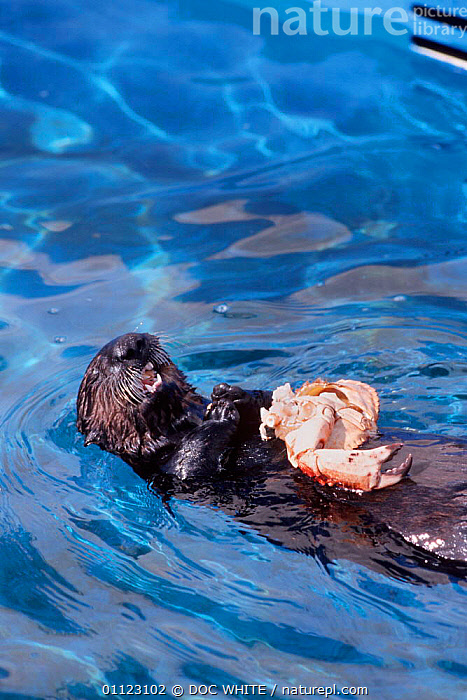 Sea otter lies on back + feeds on crab Monterey Bay USA captive {Enhydra lutris}  ,  CRUSTACEANS,FEEDING,OTTERS,CARNIVORES,PACIFIC,VERTICAL,ENDANGERED,REAR,USA,CALIFORNIA,MAMMALS,BEHAVIOUR,North America,Invertebrates,Mustelids  ,  DOC WHITE