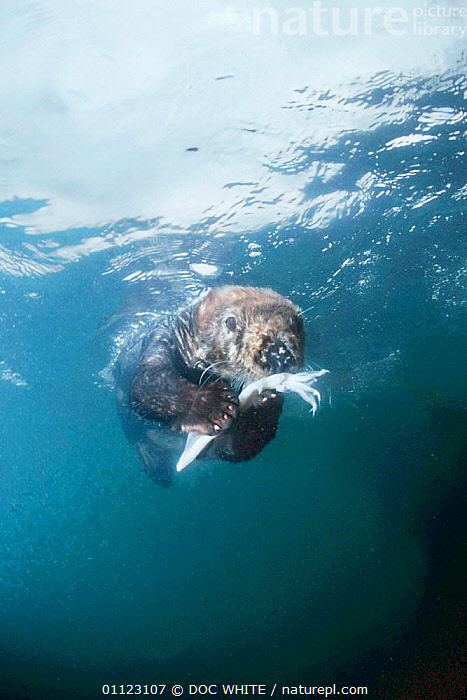 Sea otter underwater feeding on squid Monterey Bay captive {Enhydra lutris}  ,  CEPHALOPODS,CARNIVORES,SWIMMING,TEMPERATE,ENDANGERED,PACIFIC,MAMMALS,BEHAVIOUR,USA,CALIFORNIA,VERTICAL,MARINE,OTTERS,North America,Invertebrates,Mustelids,Catalogue1  ,  DOC WHITE