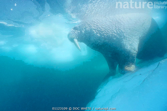 Walrus underwater by ice floe {Odobenus rosmarus} Canadian Arctic  ,  CANADA,MALES,TUSKS,ARCTIC,MARINE,MAMMALS,NORTH AMERICA,PINNIPEDS,COLD, CARNIVORES , CARNIVORES , CARNIVORES ,Catalogue1  ,  DOC WHITE