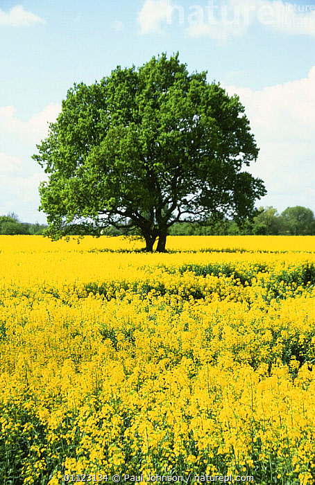 Oil seed rape {Brassica napus} and Oak tree {Quercus robur} Yorkshire, UK  ,  Brassica,BRASSICACEAE,CROPS,DICOTYLEDONS,ENGLAND,EUROPE,FARMLAND,LANDSCAPES,PLANTS,SUMMER,TREES,UK,VERTICAL,YELLOW,United Kingdom,British  ,  Paul Johnson