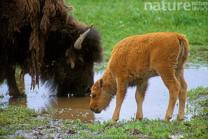 Bison {Bison bison} and calf drinking, Yellowstone, Wyoming, USA  ,  ARTIODACTYLA,BABIES,BEHAVIOUR,BUFFALOS,COLOUR,FAMILIES,MAMMALS,NORTH AMERICA,NP,RESERVE,USA,National Park,Cattle  ,  Philippe Clement