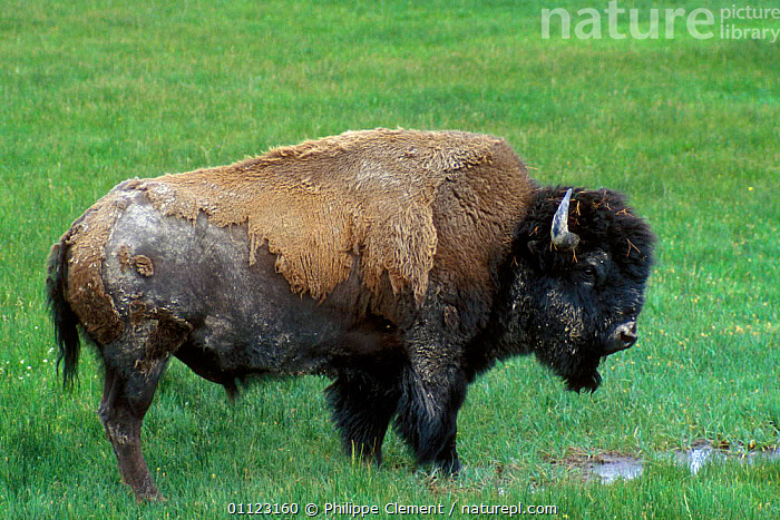 Bison {Bison bison} moulting, Yellowstone, Wyoming, USA  ,  ARTIODACTYLA,BUFFALOS,MAMMALS,NORTH AMERICA,NP,PROFILE,RESERVE,USA,National Park,Cattle  ,  Philippe Clement
