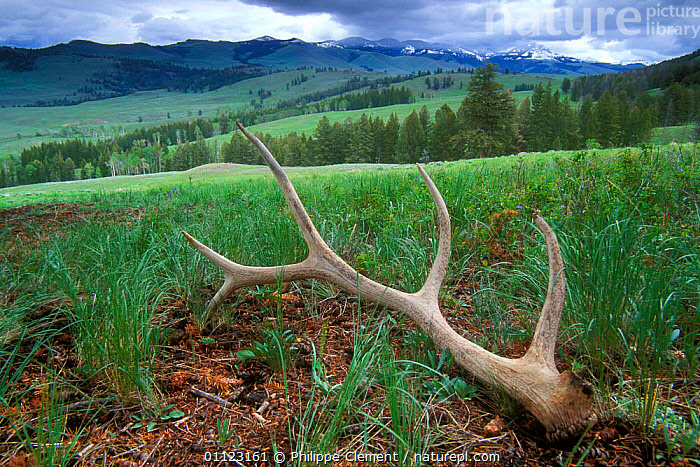 Shed antlers of Elk {Cervus elaphus} in Lamar valley, Yellowstone, USA  ,  ARTIODACTYLA,LANDSCAPES,MAMMALS,NP,RESERVE,USA,WYOMING,North America,National Park  ,  Philippe Clement