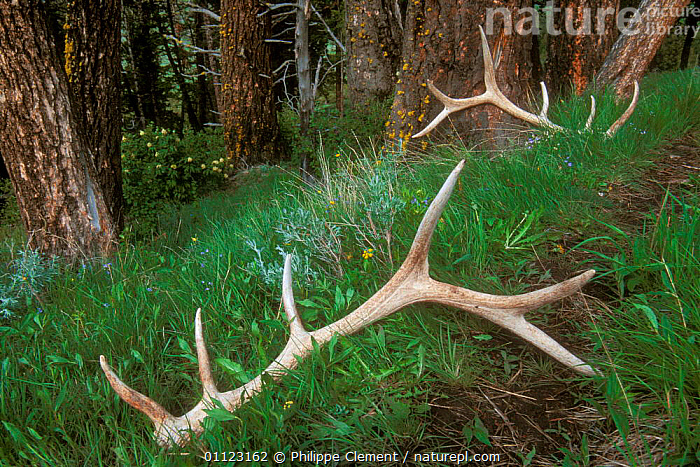 Shed antlers of Elk {Cerphus elaphus} in woodland Yellowstone, USA  ,  ARTIODACTYLA,CERPHUS,MAMMALS,NP,RESERVE,USA,WOODLANDS,WYOMING,North America,National Park  ,  Philippe Clement