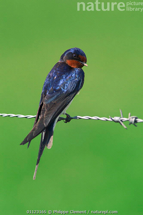 Barn swallow perched on wire {Hirundo rustica} Belgium  ,  BIRDS,EUROPE,ONE,SWALLOWS,VERTICAL  ,  Philippe Clement