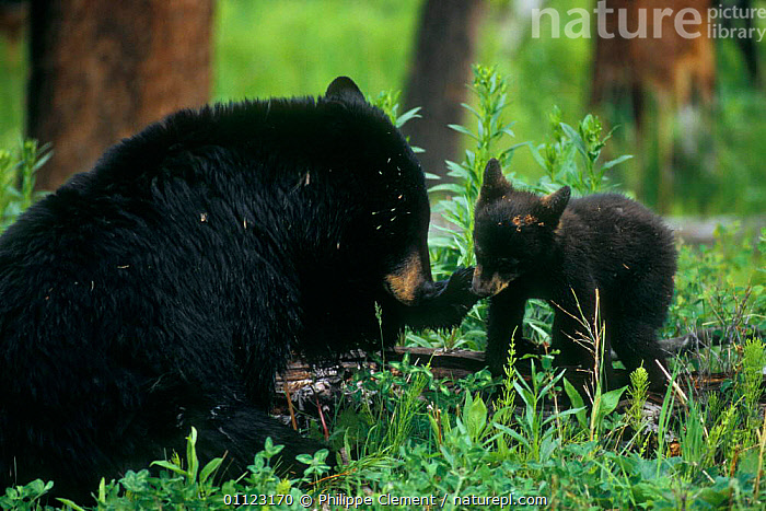 Female Black bear with cub {Ursus americanus} Yellowstone, Wyoming, USA  ,  BABIES,BABY,BEARS,CARNIVORES,CUTE,FAMILIES,MAMMALS,MOTHER,NORTH AMERICA,NP,RESERVE,USA,National Park  ,  Philippe Clement