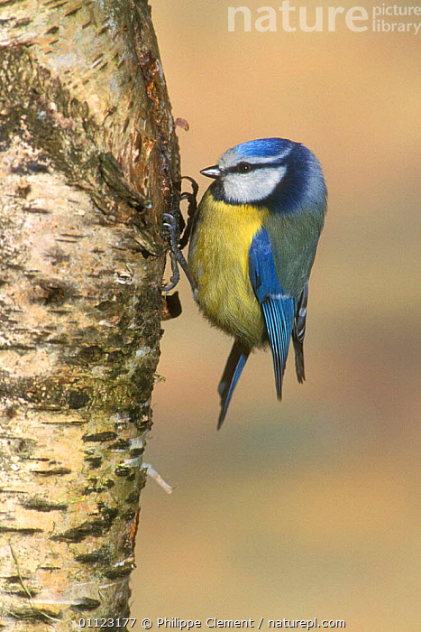 Blue tit searching for insects on birch tree trunk, Belgium  ,  BIRDS,EUROPE,FEEDING,TITS,TRUNKS  ,  Philippe Clement