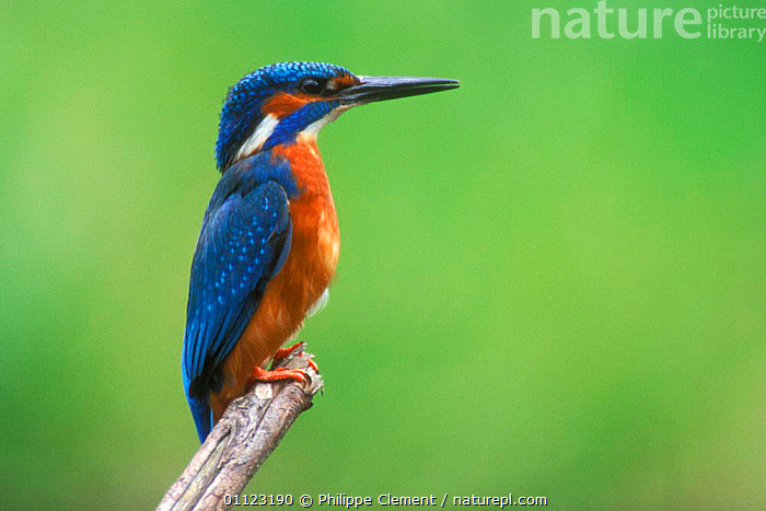 Common kingfisher, male perched {Alcedo atthis} Belgium  ,  BIRDS,EUROPE,KINGFISHERS,MALES,PORTRAITS,PROFILE  ,  Philippe Clement