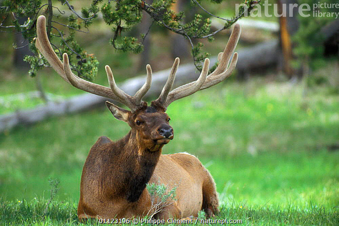 Elk stag in velvet resting {Cervus elaphus} Yellowstone, Wyoming, USA  ,  ANTLERS,ARTIODACTYLA,MALES,MAMMALS,NORTH AMERICA,NP,RESERVE,USA,National Park  ,  Philippe Clement