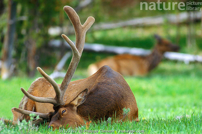 Elk stag resting {Cervus elaphus} Yellowstone, Wyoming, USA  ,  ARTIODACTYLA,MALES,MAMMALS,NORTH AMERICA,NP,RESERVE,US,USA,National Park  ,  Philippe Clement