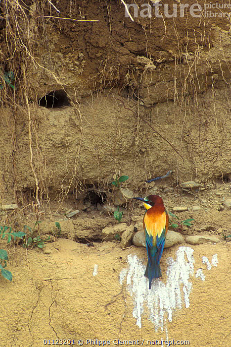 European bee eater at nest entrance {Merops apiaster} Spain  ,  BANKS,BIRDS,EUROPE,HOLE,NESTS  ,  Philippe Clement
