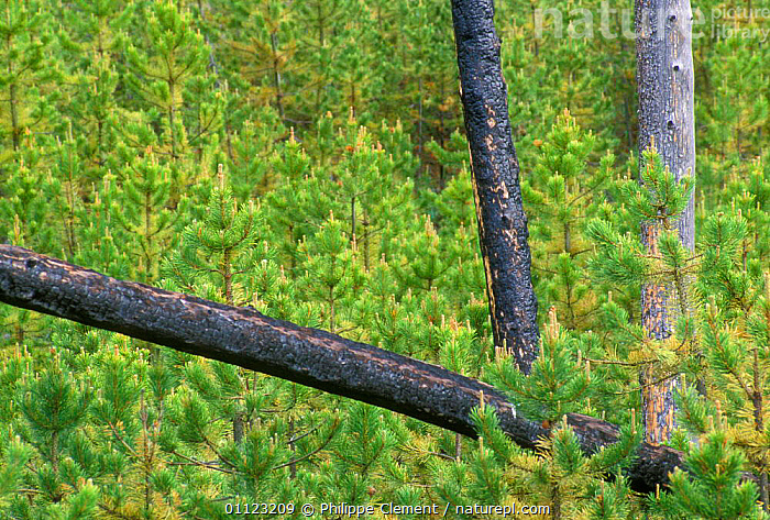 Regrowth of conifers after forest fire, Yellowstone NP, Wyoming, USA  ,  BURNT,CONIFER,CONIFEROUS,LANDSCAPES,NORTH AMERICA,REGENERATION,RESERVE,TREES,Plants,USA  ,  Philippe Clement