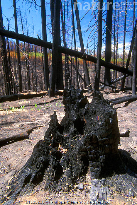 Burnt trees after forest fire, Yellowstone NP, Wyoming, USA  ,  CONIFER,CONIFEROUS,CONIFERS,DESTRUCTION,LANDSCAPES,NORTH AMERICA,RESERVE,US,USA  ,  Philippe Clement