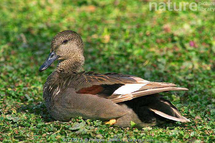 Portrait of male Gadwall {Anas strepera} Belgium  ,  BIRDS,DUCK,DUCKS,EUROPE,MALES,PROFILE,WATERFOWL  ,  Philippe Clement