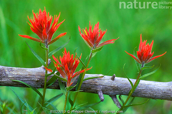 Scarlet / giant red paintbrush flowers {Castilleja miniata} USA Yellowstone NP  ,  FOUR,NORTH AMERICA,USA  ,  Philippe Clement