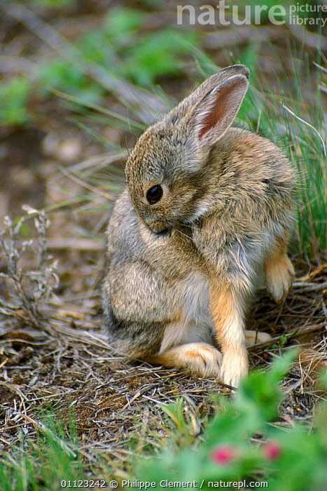 Mountain cottontail grooming {Sylvilagus nuttallii} Yellowstone, USA  ,  BEHAVIOUR,COTTONTAILS,LAGOMORPHS,MAMMALS,RABBITS,NORTH AMERICA,NP,USA,WYOMING,National Park  ,  Philippe Clement