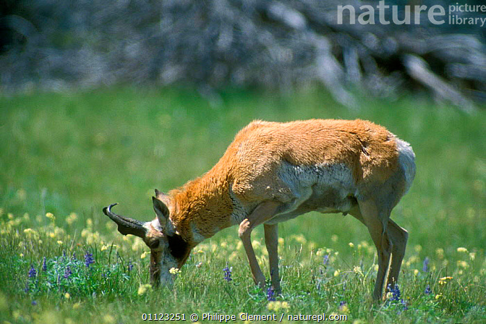 Pronghorn antelope grazing {Antilocapra americana} Yellowstone, Wyoming, USA  ,  ANTELOPES,ARTIODACTYLA,ENDANGERED,FEEDING,MAMMALS,NORTH AMERICA,NP,RESERVE,USA,National Park  ,  Philippe Clement