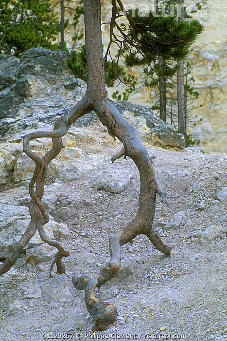 Tree roots exposed by erosion, Yellowstone, Wyoming, USA  ,  LANDSCAPES,NORTH AMERICA,NP,RESERVE,TREES,US,Plants,National Park,USA  ,  Philippe Clement